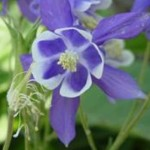 ORLIK-SPRING-MAGIC-BLUE-WHITE-AQUILEGIA-CAERULEA