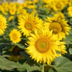 http://www.dreamstime.com/royalty-free-stock-photography-sunflower-field-agriculture-nature-background-image34693297