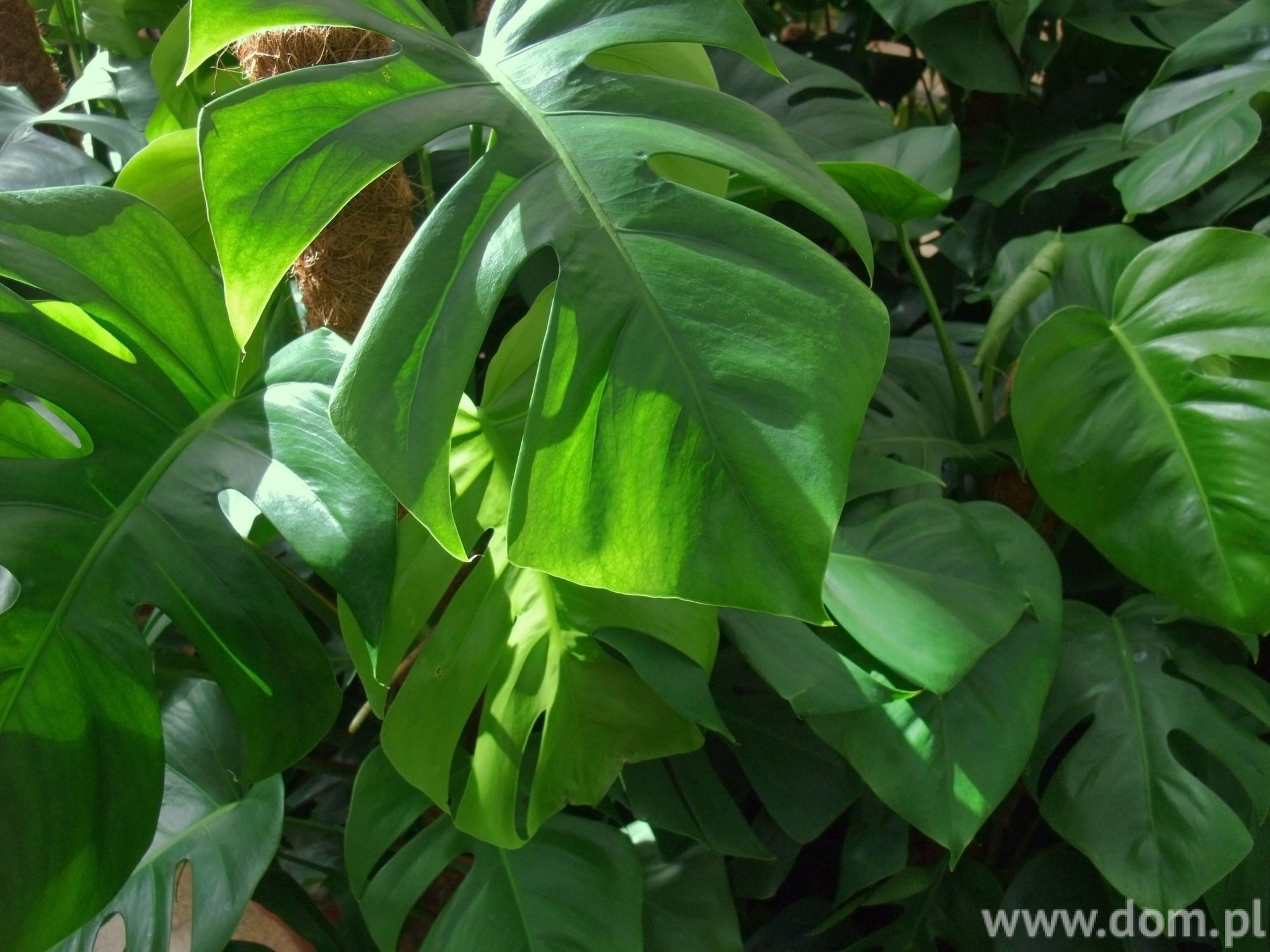 Monstera dziurawa uprawa monstery w domu - Piante da interno alte ...
