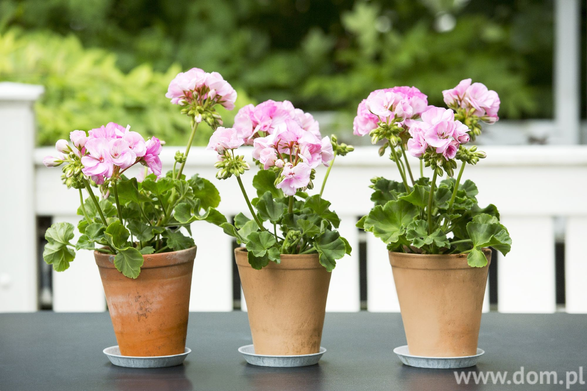 fot. Pelargonium for Europe