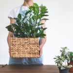 Cropped view of young woman in blue apron holding box with zamiokulkas, standing near wooden table with plants on white wall background