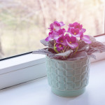 Blooming pink African violet flower on windowsill on summer sunlight, cozy home decor